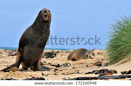 Sea Lion on beach New Zealand - stock photo