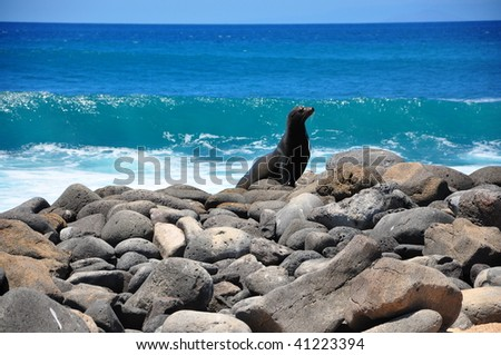 Sea lion on rocks Galapagos Islands - stock photo