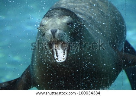 Sea lion opening its mouth under water in aquarium and air bubbles
