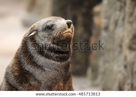 sea lion portrait close up