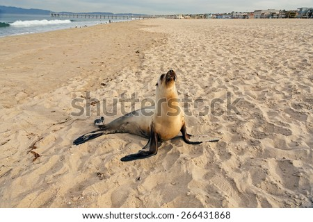 Sea lion pup having rest on the Hermosa beach, California, USA  - stock photo