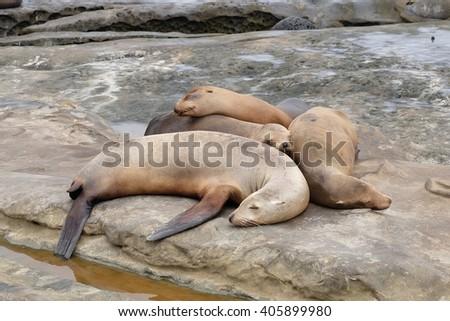 Sea lion Pups are sleeping on the rocks at la jolla cove - stock photo