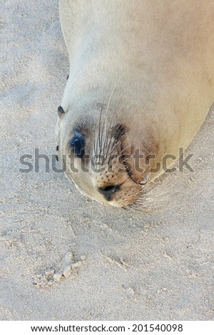 Sea Lion resting on the sand in Santa Fe island, Galapagos, Ecuador - stock photo