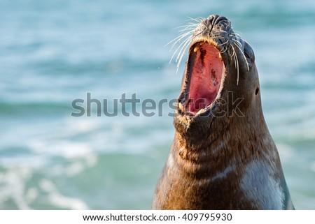 sea lion seal on Patagonia beach while roaring - stock photo