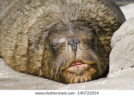 sea lion sleeping - stock photo