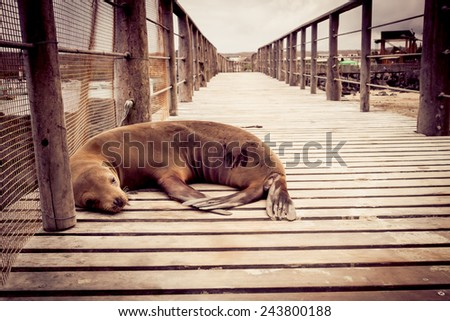 sea lion sleeping in pier in san cristobal galapagos islands ecuador - stock photo