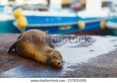 Sea lion sleeping in town near port at Galapagos Santa Cruz island - stock photo