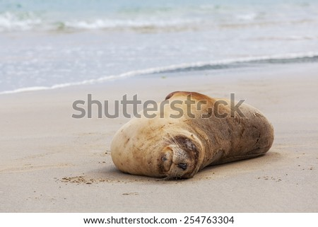 Sea Lion sleeping on the beach, Otago, South Island, New Zealand - stock photo