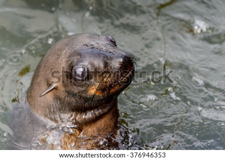 Sea lion swimming in the Atlantic ocean, Walvis Bay, Namibia