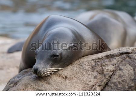Sea Lion take a nap on the rock - stock photo