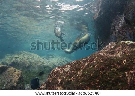 Sea lion underwater - stock photo