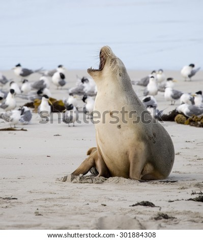 Sea lion yawning at Seal bay of Kangaroo Island, Australia