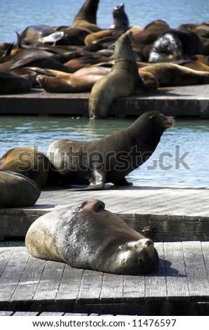 Sea Lions at San Francisco's Pier 39. - stock photo