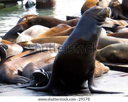 Sea Lions on San Franciso's Fisherman's Wharf
