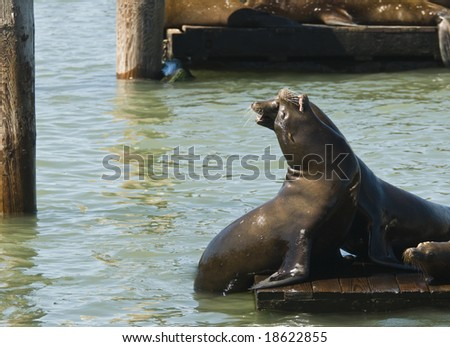 Sea lions  playing and sun bathing on  the docks at  fisherman?s wharf in San Francisco