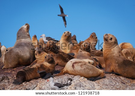Sea lions, Puerto Deseado, Patagonia, Argentina - stock photo