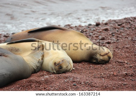 Sea lions relaxing on the  red coral beach at Rabida Island, Galapagos, Ecuador - stock photo