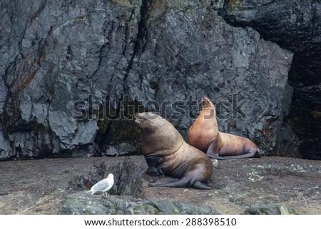 sea lions resting on a coastal rock in alaska - stock photo