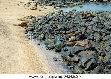sea lions resting on rocks in san cristobal galapagos islands ecuador - stock photo
