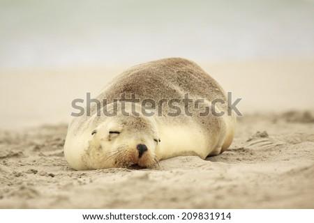 Sea Lions sleeping on Australian beach - Kangaroo Island - stock photo