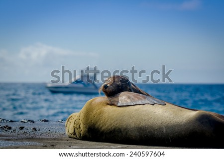 sea lions sleeping together in the galapagos islands with ocean view in the background selective focus - stock photo
