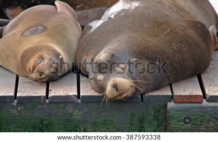 Sea lions snooze on a dock at Fisherman's Wharf in San Francisco  - stock photo