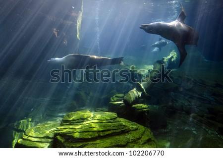 Sea Lions swims underwater. - stock photo