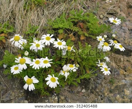 Sea Mayweed - Tripleurospermum maritimumCoastal daisy flower - stock photo