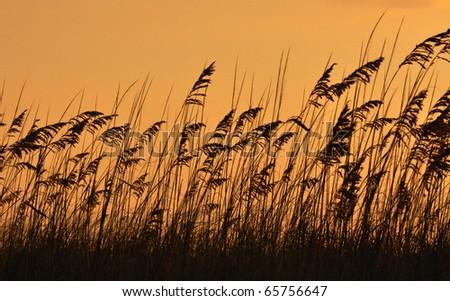 Sea oats (Uniola paniculata) on dusk time - stock photo