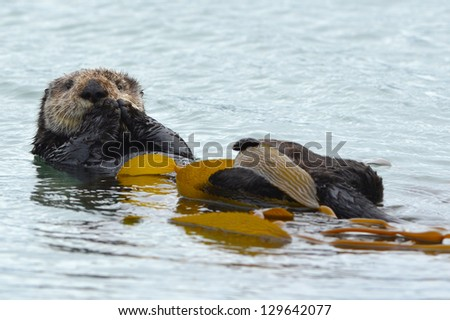 sea otter adult male is seen cleaning his fur with kelp in the ocean on a cold rainy day in big sur, california, united states. similar beaver squirrel possum seaside scene water