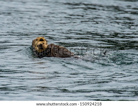 Sea otter and pup swimming  - stock photo