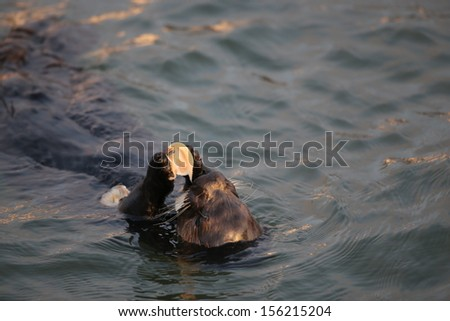 Sea Otter eating a clam - stock photo