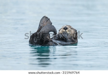 Sea otter eating in water - stock photo