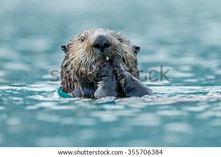 Sea otter eats something while floating in the ocean. - stock photo