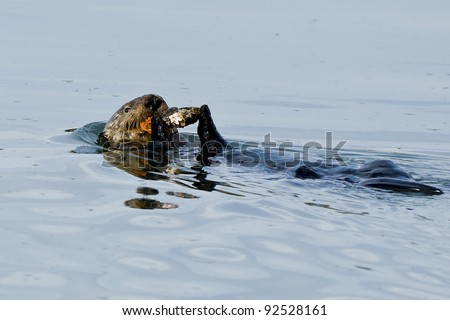 Sea otter (Enhydra lutris).  The sea otter (Enhydra lutris) is a marine mammal native to the coasts of the northern and eastern North Pacific Ocean. - stock photo