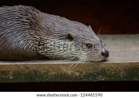Sea otter study - stock photo