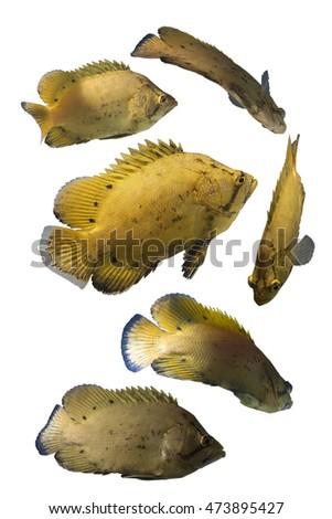 Sea perch stock photos royalty free images vectors for Sea perch fish