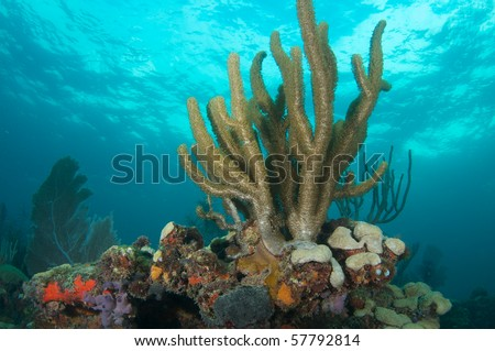Sea Rod on a coral ledge, picture taken in Broward County, Florida - stock photo