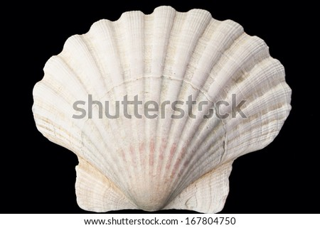Sea Shell, Conch, isolated on blackbackground