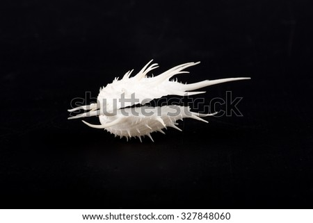 Sea shell isolated in black,Marine sea shell in a studio setting against a dark background. Sea shell from collection. Shell Spondylus imperialis, Spondylidae family. Shell from Philippines - stock photo