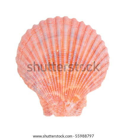 Sea shell isolated on white background - stock photo