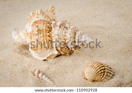 Sea shell on the shore sand background. - stock photo