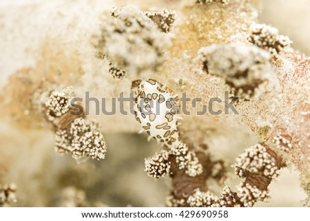Sea Slug (Nudibranch) , underwater photography - stock photo