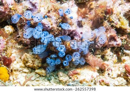 sea squirt - stock photo