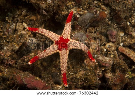 Sea Star (Fromia monilis) on a tropical coral reef in the Lembeh Strait in North Sulawesi, Indonesia.