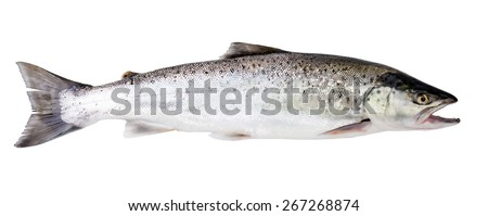 Sea trout fish isolated on white background - stock photo