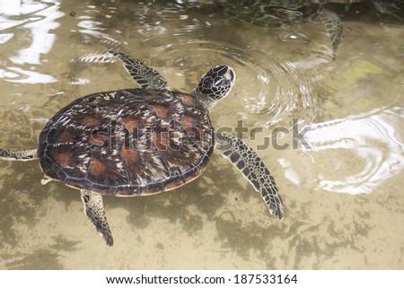 sea turtle - stock photo