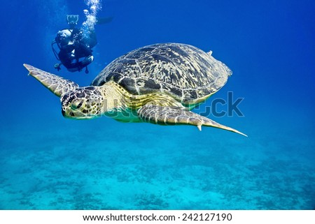 Sea turtle and diver on the blue background - stock photo