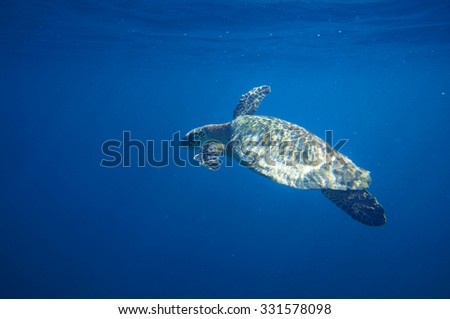 Sea Turtle coming up