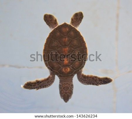 Sea turtle conservation Conservation of marine species - stock photo